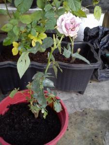 Mawar ungu :D